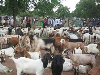 Nhwali auction in Gwanda