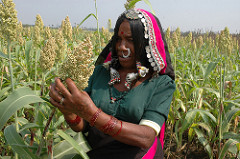 Sorghum provides food security and income for millions of poor farmers living in the drylands
