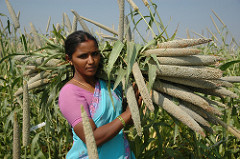 Pearl millet, a hardy warm-season cereal crop