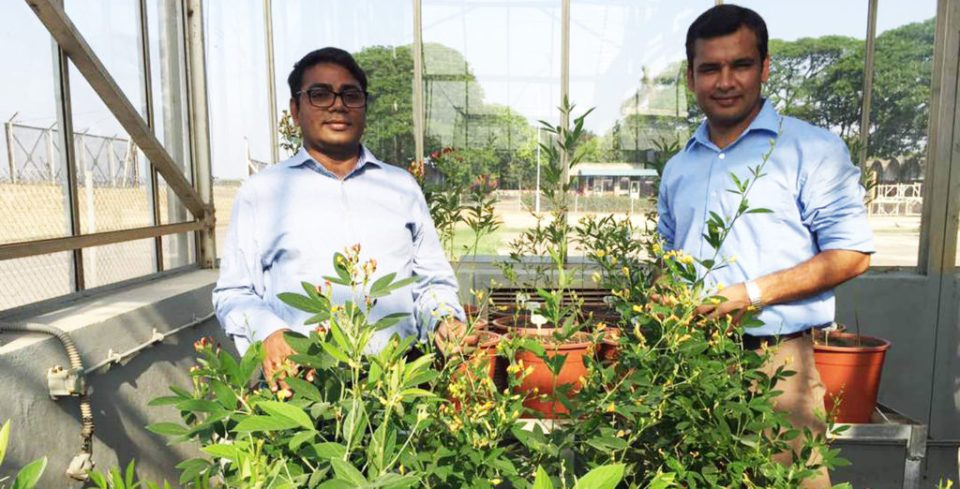 Senior Scientist Dr Rachit Saxena and Research Program Director Dr Rajeev K Varshney inspect pigeonpea accessions for agronomically important traits and disease resistance. Photo: ICRISAT