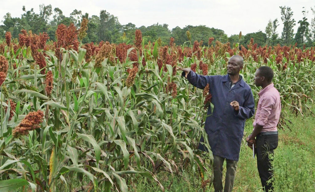 Jobs In Maize And Millets Research Institute 03 - Inspirational