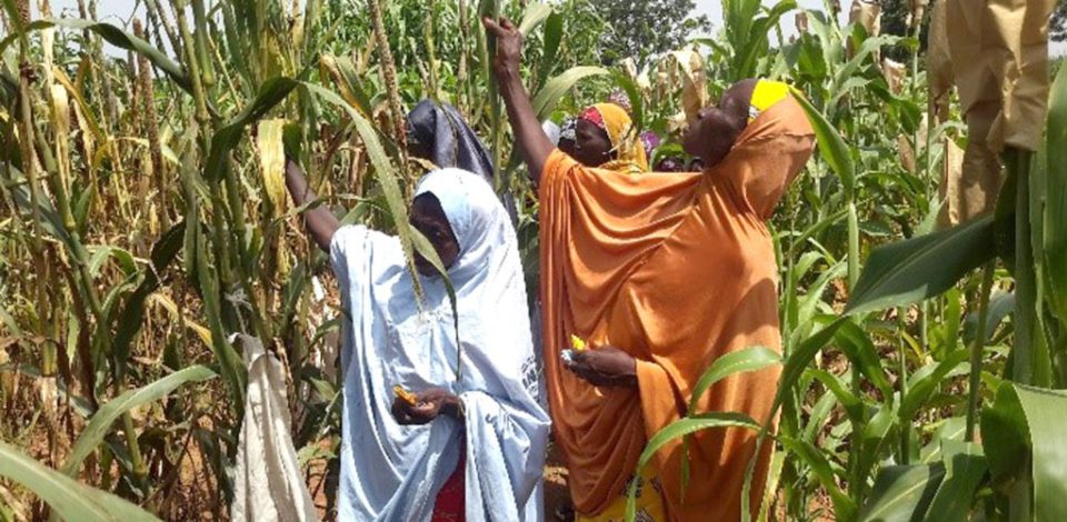 Pearl millet farmers at a participatory varietal selection in Nigeria. Photo: Jerome Jonah, ICRISAT