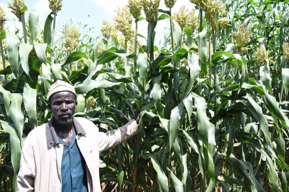 Drissa Diarra is impressed by the qualities of dual purpose sorghum at the Africa RISING Technology Park in Koutiala district. PC: A. Diama, ICRISAT