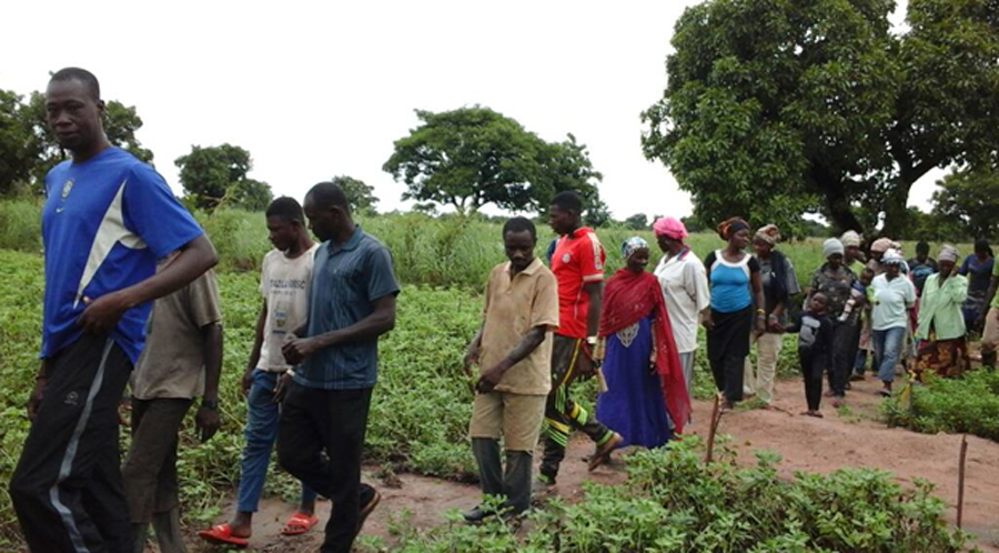 Farmers walk through the field observing suitable genotypes for selection in Silbelle, Ghana. PC: Haruna Ali