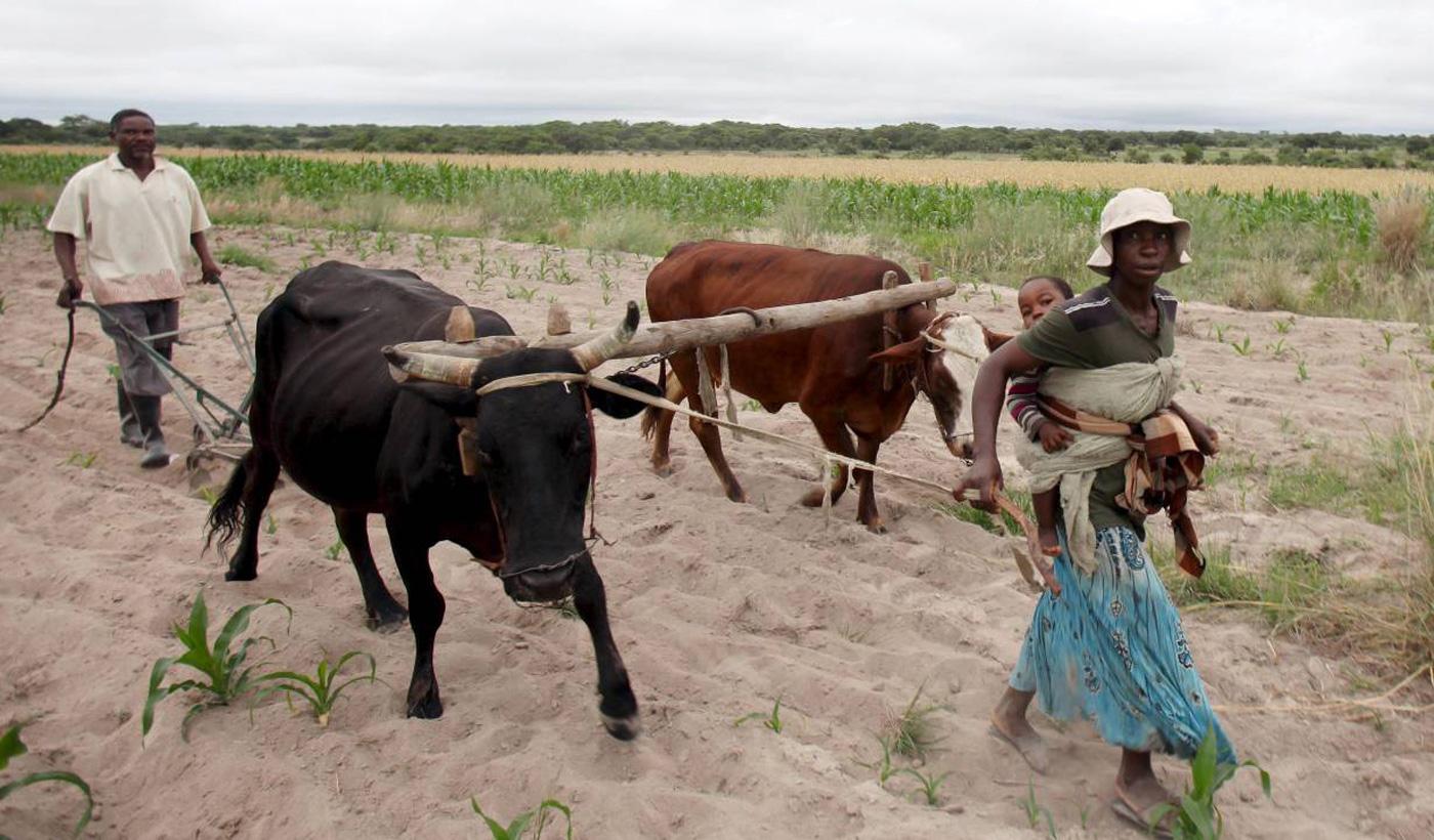 Communal farmers cultivate maize crops in Mvuma district, Masvingo, Zimbabwe, January 26, 2016. Photo: REUTERS/Philimon Bulawayo