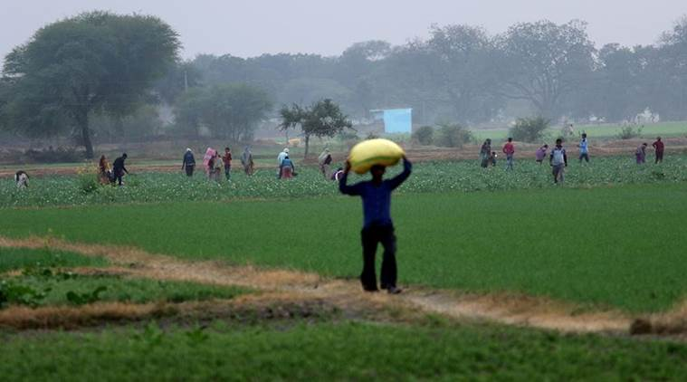 "The focus is now on the ""profitability"" rather than simply the ""productivity"" aspect of farming. (Express Photo/Praveen Khanna)"