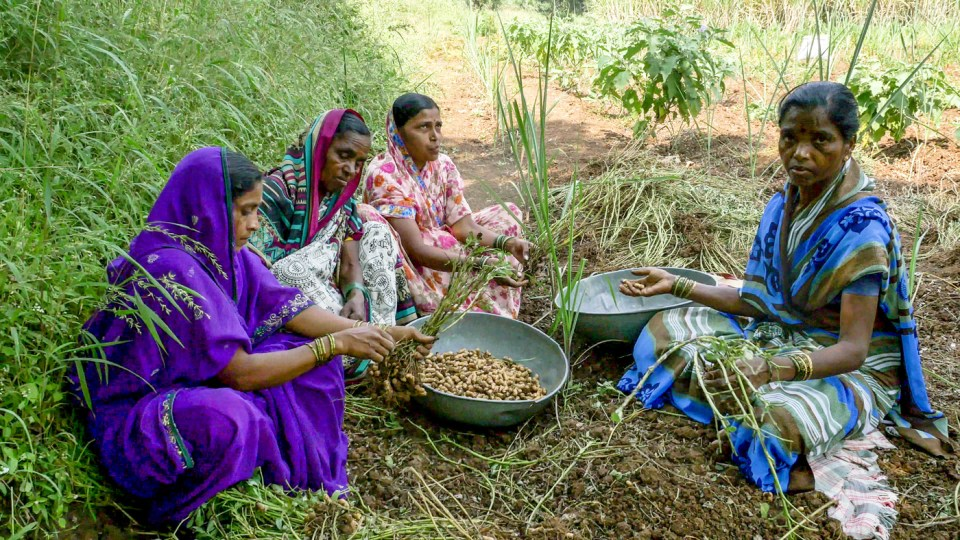 Women crack open shells of freshly harvested ICGV 03043 groundnut in Janugadewadi village of Maharashtra's Satara district. Photo: PS Rao, ICRISAT