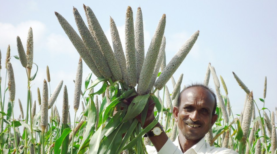 Dhanashakti (high-iron variety) was made available to 94,000 households in 2018. Photo: ICRISAT
