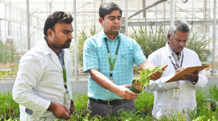 (L-R) ICRISAT researchers Mr Naresh Nimmala, Scientific Officer, Dr Rajan Sharma, Head, Plant Quarantine Unit, and Mr P Jaganmohan Rao, Consultant, examining pearl millet in a glass house. Photo: Michael Major/Crop Trust