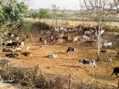 Fodder shortage in rain-scarce region of Bundelkhand in Uttar Pradesh forces farmers to let their cattle loose to graze on what is available in the fields. Photo: ICRISAT