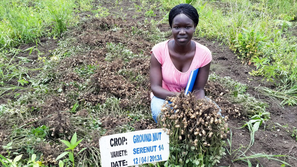 High-yielding, drought-tolerant, stay-green Serenut 14R groundnut resistant to rosette virus and leaf spots. Photo: ICRISAT