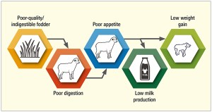 Poor quality fodder leads to decreased output from small ruminants.
