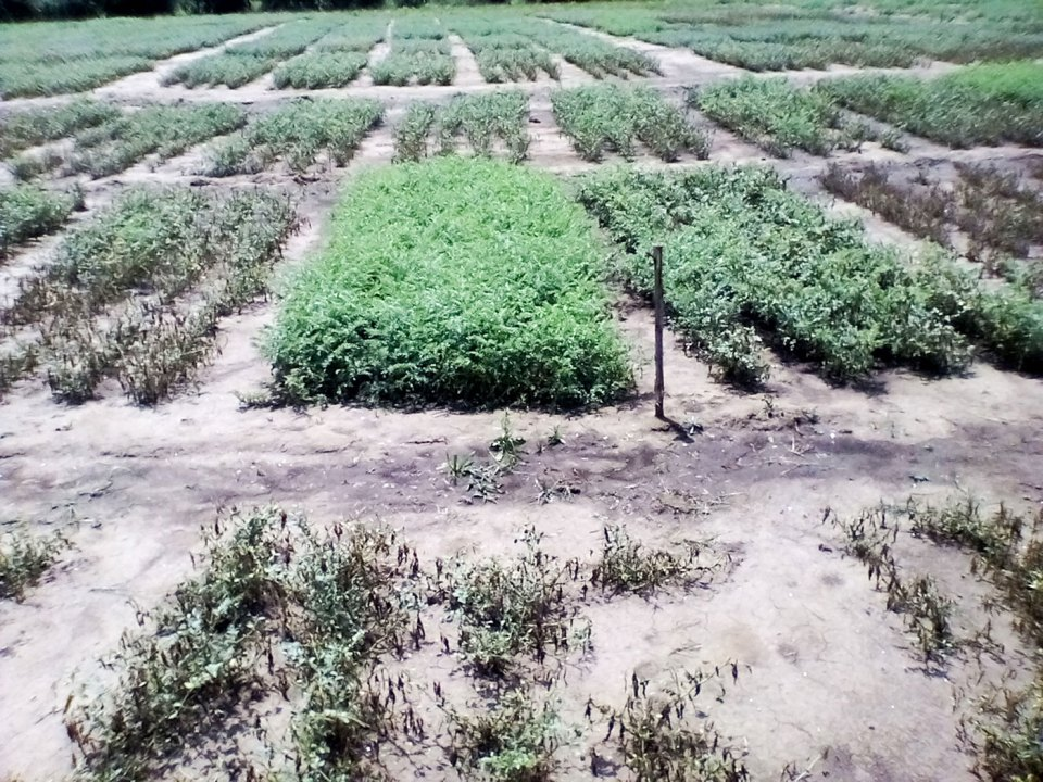Ascochyta blight-resistant desi chickpea variety 'Eshete' (healthy variety in the middle) released in Ethiopia. Photo: DZARC, Ethiopia