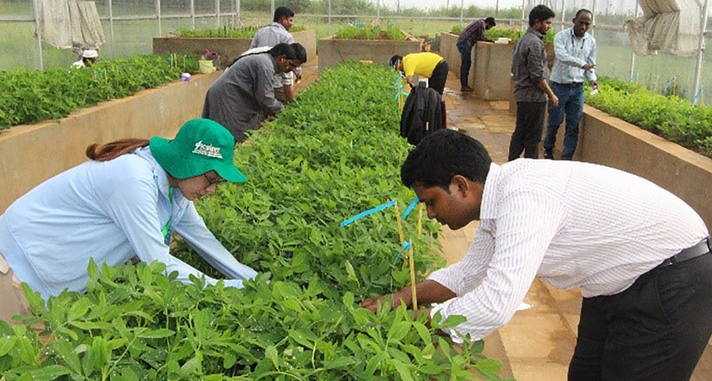 File photo of groundnut breeding operations at ICRISAT. Photo: ICRISAT