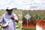 Dr Manyasa (left) New hybrid SCXH102 on Seed Co demonstration plot. Inset: Harvested panicles. Photo: A Mburu & T Soko (Inset)