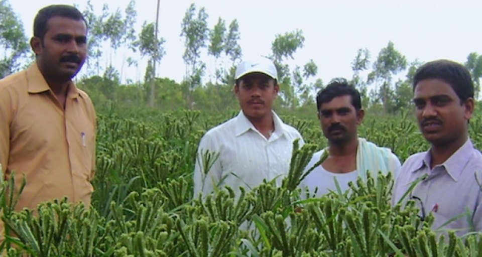 Finger millet field in Kolar district, Karnataka, India. Photo: ICRISAT