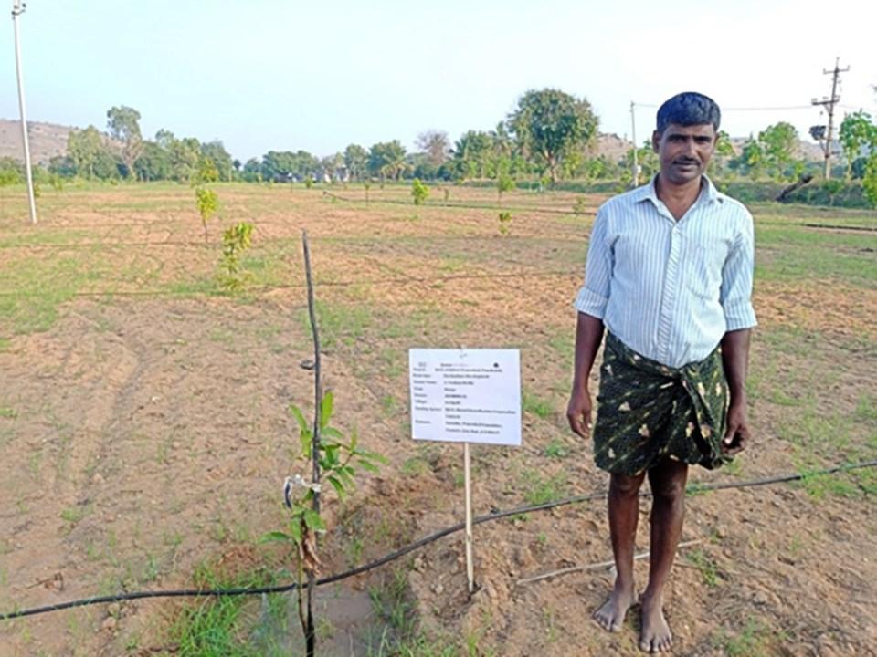 Mango saplings planted by Mr A Venkata Reddy in Settipalli village, Anantapur. Photo: BISLD/Samatha/ICRISAT