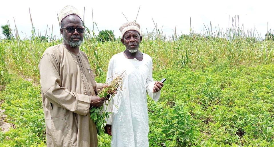 Prof Sanusi Gaya, groundnut breeder, CDA/BUK, with Mr Salisu Garba, KSPA member, on Mr Garba's farm. Photo: S Gaya