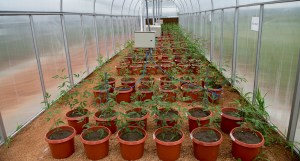 Pigeonpea plants in one of the gradient tunnels at the Centre of Excellence on Climate Change Research for Plant Protection in ICRISAT, Patancheru. Photo: ICRISAT