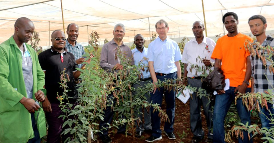 Dr Kerby and the pigeonpea researchers look at the high yielding, large seeded pigeonpea at the Kabete experimental station. Photo: ICRISAT