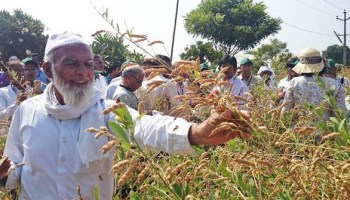 Improved pigeonpea hybrid helps farmers fight drought in Maharashtra
