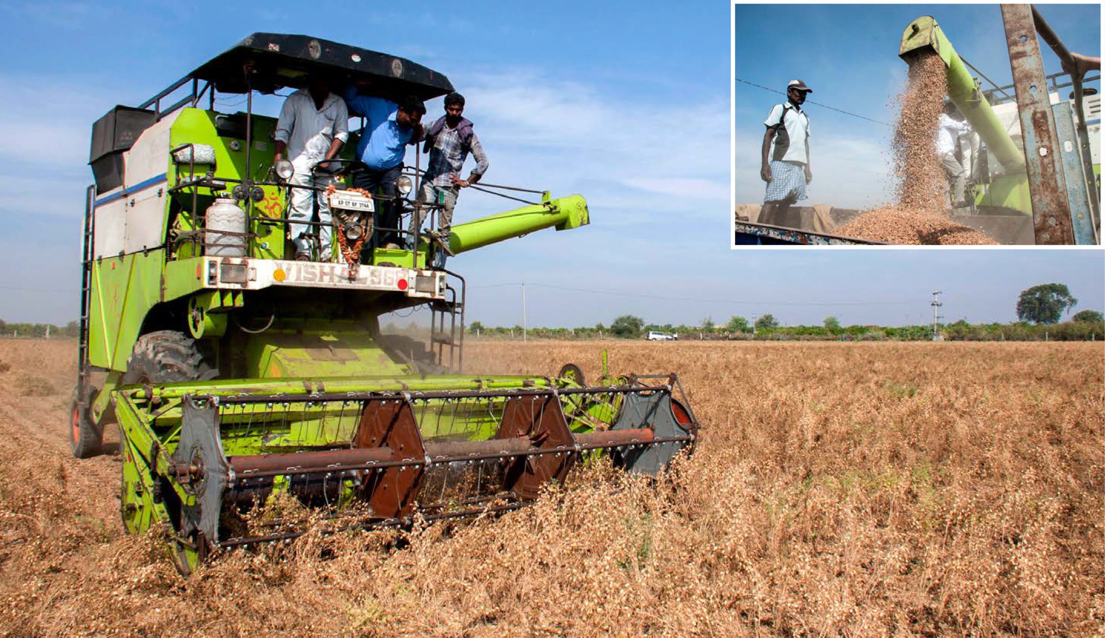 First Machine Harvestable Chickpea Variety Boon For