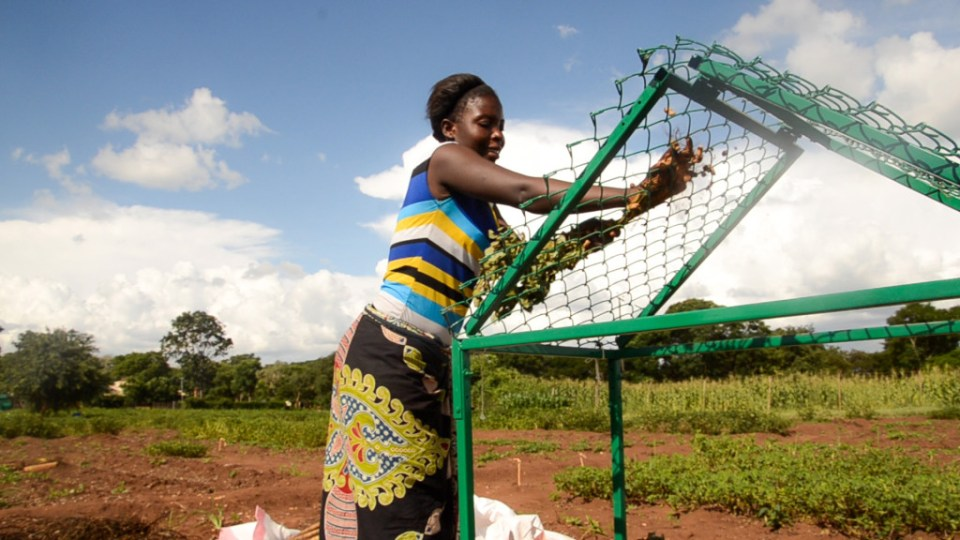 Woman farmer in Malawi using locally fabricated 'A-frame' groundnut stripper. Photo: L Lazarus, ICRISAT