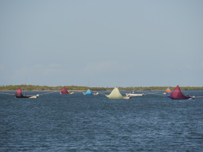 A fleet of sailing pangas.