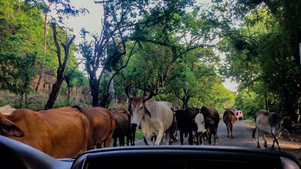 Skinny cattle, driven on horseback, make their way through a few trucks on the road in Aserradores.