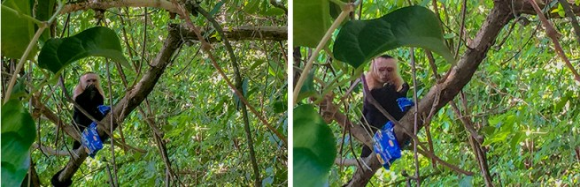 (Left) The thief eating its cookies high in the forest canopy. (Right) The capuchin looks at the cookie to see if any filling is left before dropping it to the forest floor.