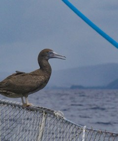 A Brown Booby catches a ride through the storms on our bow.