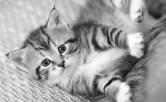 Registrera din katt i ID-registret - SVERAKs id-register