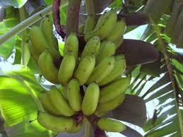 bananaTree