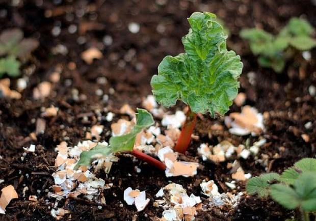 Sprinkle-Eggshells-Around-Your-Plants