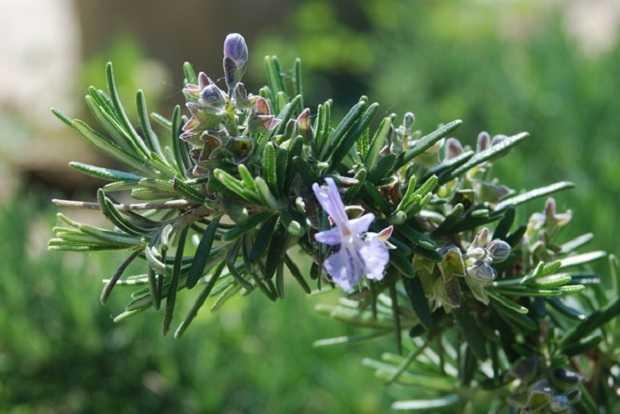 Come coltivare il rosmarino  Idee Green