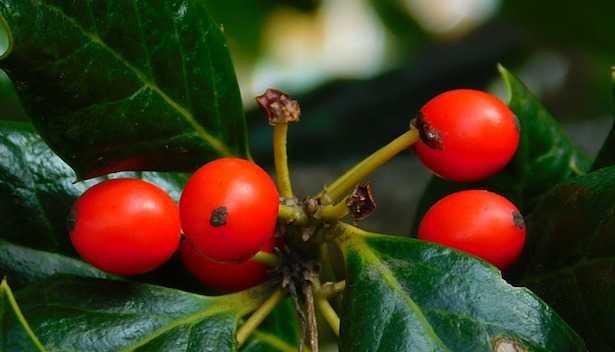 Il pungitopo pianta portafortuna da regalare a Natale