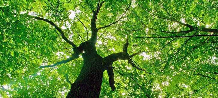 Come coltivare il tiglio  Idee Green
