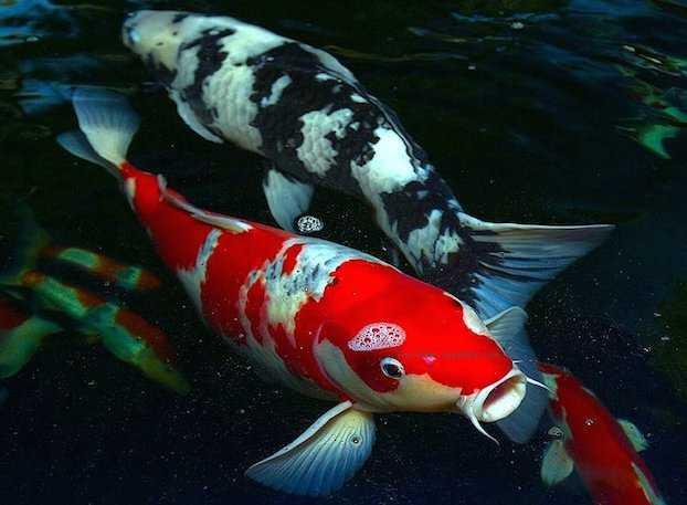 Carpe Koi pesci giapponesi coloratissimi  Idee Green