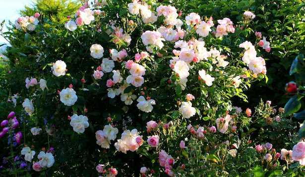 Rose da giardino quali scegliere  Idee Green