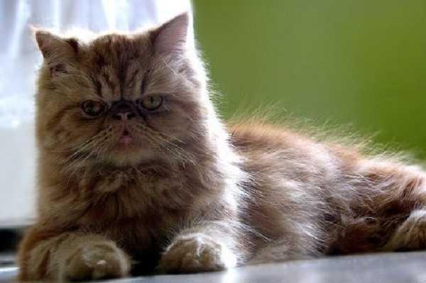 Gatto persiano carattere e prezzo  Idee Green