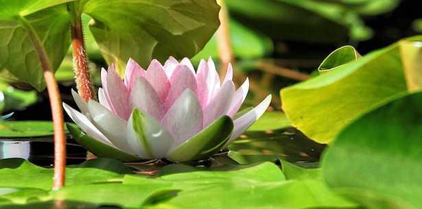 Coltivare fiore di loto la guida  Idee Green