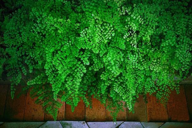 Capelvenere coltivazione e cure  Idee Green