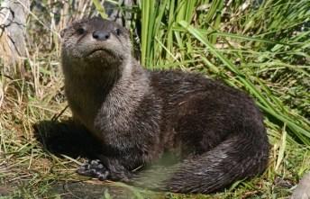 Risultati immagini per lontra italia