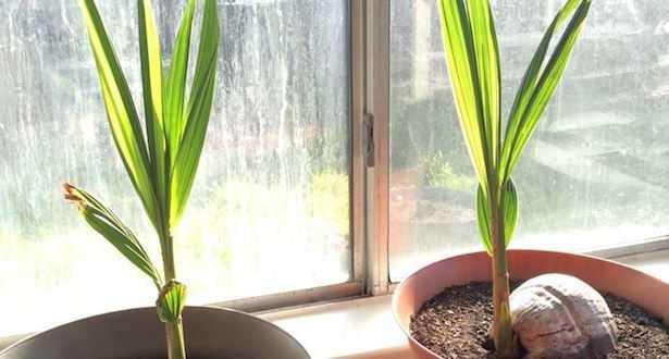 Coltivare la palma da cocco  Idee Green