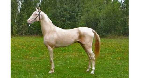 Cavallo dorato esiste o  una bufala  Idee Green