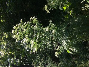 Hemlock umbels, high enough to dance under
