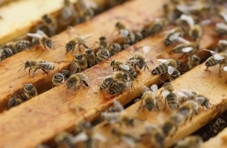 tom hodgkinson bees