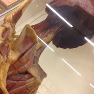 Specola_anatomie_diaphragme