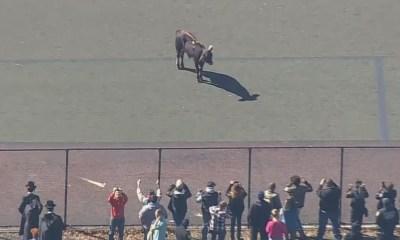 Toro escapa y causa conmoción en Nueva York