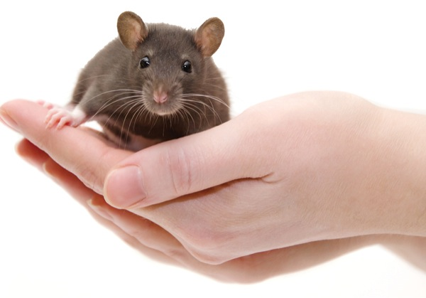Seoul Virus Outbreak First to Feature Pet Rat to Human ...